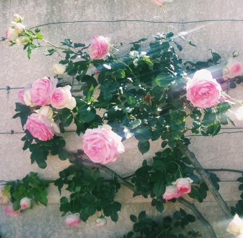roses, summer,